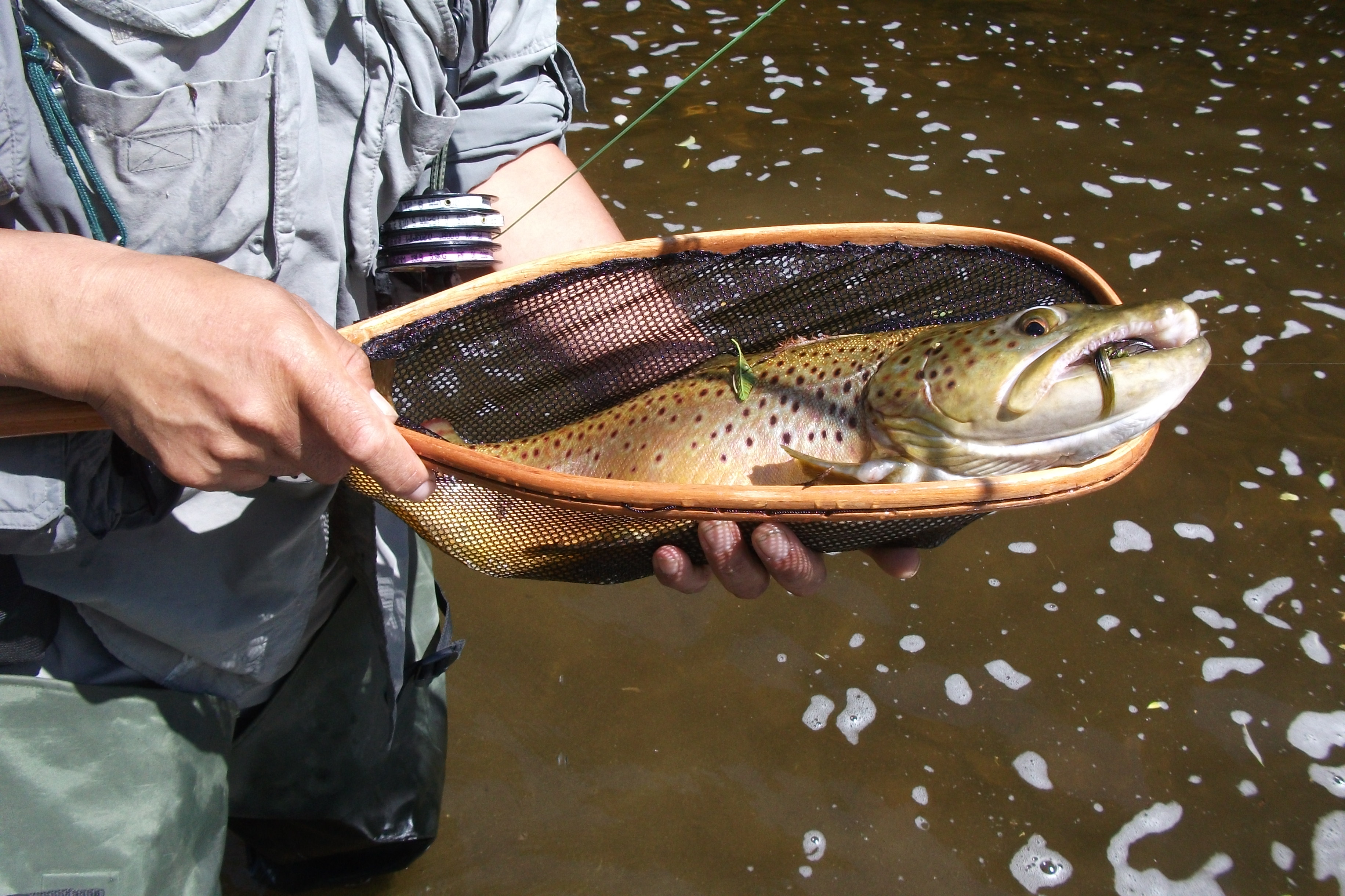 Brown trout have fly will fish for Grand river fishing